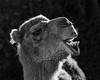 Laughing Camel (jan lyall) Tags: backlight camel janlyallphotography palmdesert thelivingdesert rimlight monochrome animal wildanimal