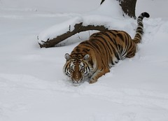 I see you.... (joannekerry) Tags: siberiantiger amurtiger tiger bigcats cats canon snow nature