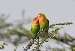 Fisher's  lovebirds (takashimuramatsu) Tags: fishers lovebird agapornisfischeri ndutu southern serengeti nikon d850