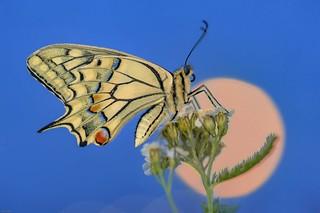 *The moonstruck swallowtail @ blue hour*