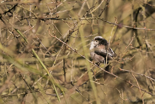 Long Tailed Tit-8356