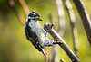 Scruffy Downy Woodpecker (Picoides pubescens) foraging in cut branch stumps (Wade Tregaskis) Tags: dryobatespubescens downywoodpecker branch clinging stump tongue tree