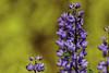 Colores de verano para el jueves  -  Summer Colors for Thursday (Carlos J. M.) Tags: flores flowers patagonia argentina villacampanario bariloche