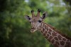 Girafa (Carlos Santos - Alapraia) Tags: ngc ourplanet animalplanet canon nature natureza wonderfulworld highqualityanimals unlimitedphotos fantasticnature girafa