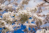 Family portret (nheij) Tags: amsterdamse bos amstelveen photography portret bloesembos bloesem kersebloesem kersenbloesem japanse cherry blossom