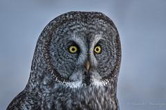 Great Gray Owl (Turk Images) Tags: aspenparkland borealfringe greatgrayowl strixnebulosa alberta birds ggow opal owls strigidae winter