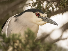 Black-crowned Night Heron (Nycticorax nycticorax) (fugle) Tags: heron blackcrownednightheron virginialake washoeco reno nevada