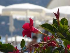 nostalgia del sole (fotomie2009) Tags: estate summer spiaggia ombrelloni parasol red flower fiore flora sundevilla sundeville spotorno liguria italy italia mandevilla sanderi dipladenia brazilian jasmine rocktrumpet gelsominodelcile