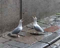 Singing in the rain (Ian Robin Jackson) Tags: seagulls aberdeen noisy street scotland funny singing happy sony zeiss gulls noise city wildlife sunday humour