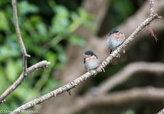 Fledgling Welcome Swallows (Stewart M) Tags: 2017 kirekire nz newzealand northisland welcomeswallow