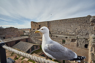 Forum Seagull