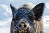 sanglier-5243 (La nature au bout des doigts) Tags: sanglier groin boutoir nez poil animal canon