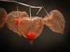 Physalis  - Lampionplant (de_frakke) Tags: winter physalis lampionplant solanaceae nachtschadigen plant vrucht naturalstilllife rood