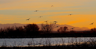 Incoming Flight -- Sandhill Cranes (Grus canadensis); Ladd Gordon Waterfowl Complex, Bernado, NM [Lou Feltz]