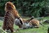 sumatran tiger Alia and Emas Blijdorp BB2A8476 (j.a.kok) Tags: tijger tiger sumatraansetijger sumatrantiger pantheratigrissumatrae kat cat animal asia azie sumatra mammal zoogdier dier predator blijdorp emas alia