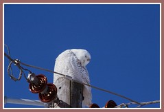 /\/\/\ Snoozing Snowy Owl - II. /\/\/\ (Wolverine09J ~ 1.5 Million Views) Tags: snowyowl male immature raptor avianwildlife snoozing poleperching wintertime migrant nature bluesky level1thewondersofnature batslair magiceye