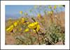Death Valley Wildflowers (AussieinUSA) Tags: california dvnp 2018wildflowers 2018 wildflowers badwaterrd desertgold hairydesertsunflower geraeacanescens inyocounty deathvalleynationalpark