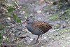 Winter rail (ekaterina alexander) Tags: winter rail water wetlands rallus aquaticus bird wild ekaterina alexander nature photography pictures england sussex