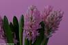 """Spring in Pink"" (Fred / Canon 70D) Tags: hyacinth falconeyesdiffusionumbrella falconeyes closeup jinbeidiffusionjumboumbrella jinbei falconeyesskk2150d ef100mmf28lmacroisusm canon70d canon canoneos eefde spring spring2018"