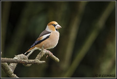 _DSC0067_Grosbec casse-noyaux (patounet53) Tags: coccothraustescoccothraustes fringillidés grosbeccassenoyaux hawfinch passériformes bird oiseau