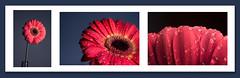 (Photo-LB) Tags: macro fleur nikon nikon55ais lumière flash godoxad360 triptyque studio nikond800