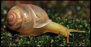 Haploptychius pellucens