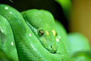 zeleni piton (Morelia viridis / Green Tree Python / Grünerbaumpython)