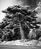 Cypress, with scooter (Tpstearns) Tags: infrared blackandwhite monochrome bw tree sanfrancisco goldengatepark