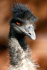 Emu (dpsager) Tags: arizona bird dpsagerphotography emu phoenix phoenixzoo zoo saariysqualitypictures
