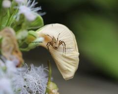 Chiang Mai Oxyopidae on flower (Phil Arachno) Tags: thailand chiangmai arachnida chelicerata spider spinne arthropoda oxyopidae luchsspinne