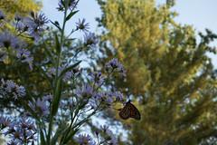 jdy279XX20171006a2989Bias0 stops.jpg (rachelgreenbelt) Tags: ghigreenbelthomesinc usa subfamilyasteroideae northamerica asteridsclade ouryard americas supertribeasterodae orderasterales eudicots greenbelt astertataricus midatlanticregion familyasteraceae campanulidsclade danausplexippusmonarchbutterfly butterfly maryland danausplexippus naturallyoccurringanimals monarchbutterfly