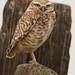 Burrowing Owl (andrewj1882) Tags: