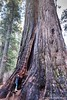 Mammoth (Holly Calinsky Jauch) Tags: redwoods california trees calaverascounty arnold sequoia bigtreesstatepark sierranevada