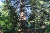 Heritage Tree (elianek) Tags: heritage trees tree sequoia park portland oregon forest floresta nature natureza eua usa estadosunidos unitedstates parque