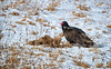 Hungry Turkey Vulture (Dave_Bradley) Tags: wildlife turkey vulture outdoor nature