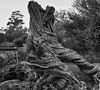 Balboa Twisted ruins BW (jimkerr1961) Tags: bw tree park balboa sandiego twist twisted