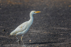Cattle Egret - (Bubulcus ibis) (hunt.keith27) Tags: close livestock grab insects worms cattle egrets have yellow or greyish legs yellowbeak reptiles frogsandmice