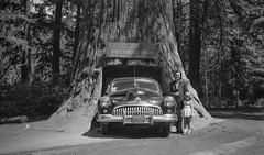 At the Chandelier Tree in 1949 (jimheid) Tags: 40s california car negative buick redwood roadtrip roadside