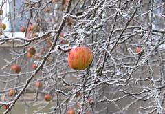 December Apple (colourvein) Tags: december cheb apple cz czechrepublic frost cold leica