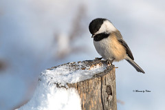 Coy Chickadee (Canon Queen Rocks (1,870,000 + views)) Tags: birds beak bird small snow chickadee blackcappedchickadee feathers wildlife wings wild nature perched post winter momentsbycelinecom