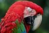 Sleeping Macaw (DaveFlker) Tags: macaw bali bird park