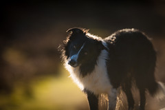 Light and fluffiness (JJFET) Tags: border collie dog sheepdog