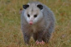 Ugly Little Possum (chumlee10) Tags: rockcutstatepark rock cut park possum oppussom creature animal ugly nature rockford il illinois