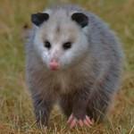 Ugly Little Possum thumbnail
