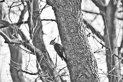 hanging out in the backyard (karma (Karen)) Tags: baltimore maryland home backyard birds pileatedwoodpecker trees branches dof bokeh monochrome bw hbw hmbt topf25