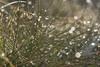 Morning Shining (kristianoosterveen) Tags: kosciuszko national park new south wales australia morning dew grass green water drip drop drops drips sun sunrise shining sparkling sparkle reflection macro close uo upclose amazing marvelous reflectie mirror spiegel spiegelend waterdruppel druppel vocht dauw ochtend ochtenddauw gras up dichtbij klein groen australië nieuw zuid sprankelend glinsterend
