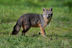 Grey Fox (fascinationwildlife) Tags: animal mammal wild wildlife nature natur national park point reyes seashore california usa america coast field grey fox fuchs graufuchs curious predator