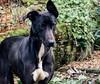 Sally next door's dog. (pitkin9) Tags: dog sally nextdoorsdog