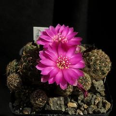 Sulcorebutia glomerispina '138' (Pequenos Electrodomésticos) Tags: cactus cacto flower flor sulcorebutia sulcorebutiaglomerispina