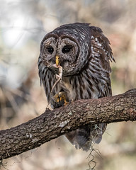 Anole Appetizier (PeterBrannon) Tags: bird birdphotography florida nature strixvaria talons tampa wildlife barredowl lizard owl portrait
